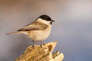 Ezeket a madárdalokat hallhatod a kora tavaszi, márciusi kirándulások idején (+Hangfelvételek)